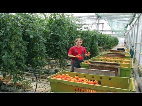 Curso Cultivo de Tomate em Estufa - Transplante, Condução e Plantio