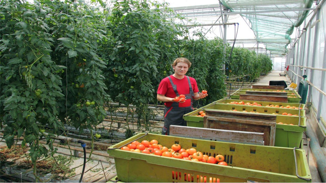 Curso cultivo de tomate em estufa transplante condu o e plantio cursos cpt youtube - Estufa para habitacion pequena ...