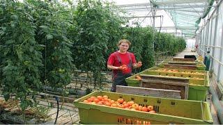 Curso Cultivo de Tomate em Estufa - Transplante, Condução e Plantio - Cursos CPT