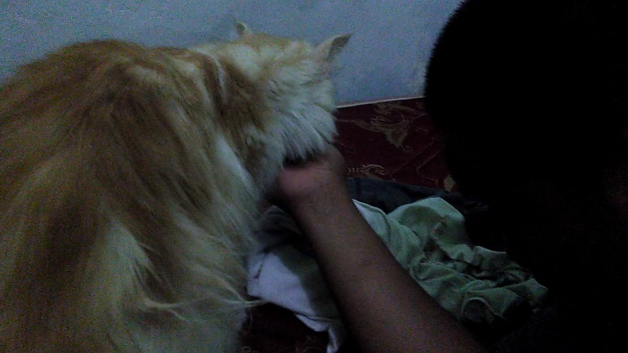 Download 92+  Gambar Kucing Anggora Kuning Paling Imut Gratis