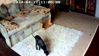 Как играют ориентальные кошки?