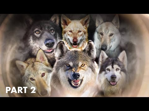 WOLFIEST WOLF DOGS IN THE WORLD - PART 2 - TOP 10 DOGS THAT LOOK LIKE WOLVES