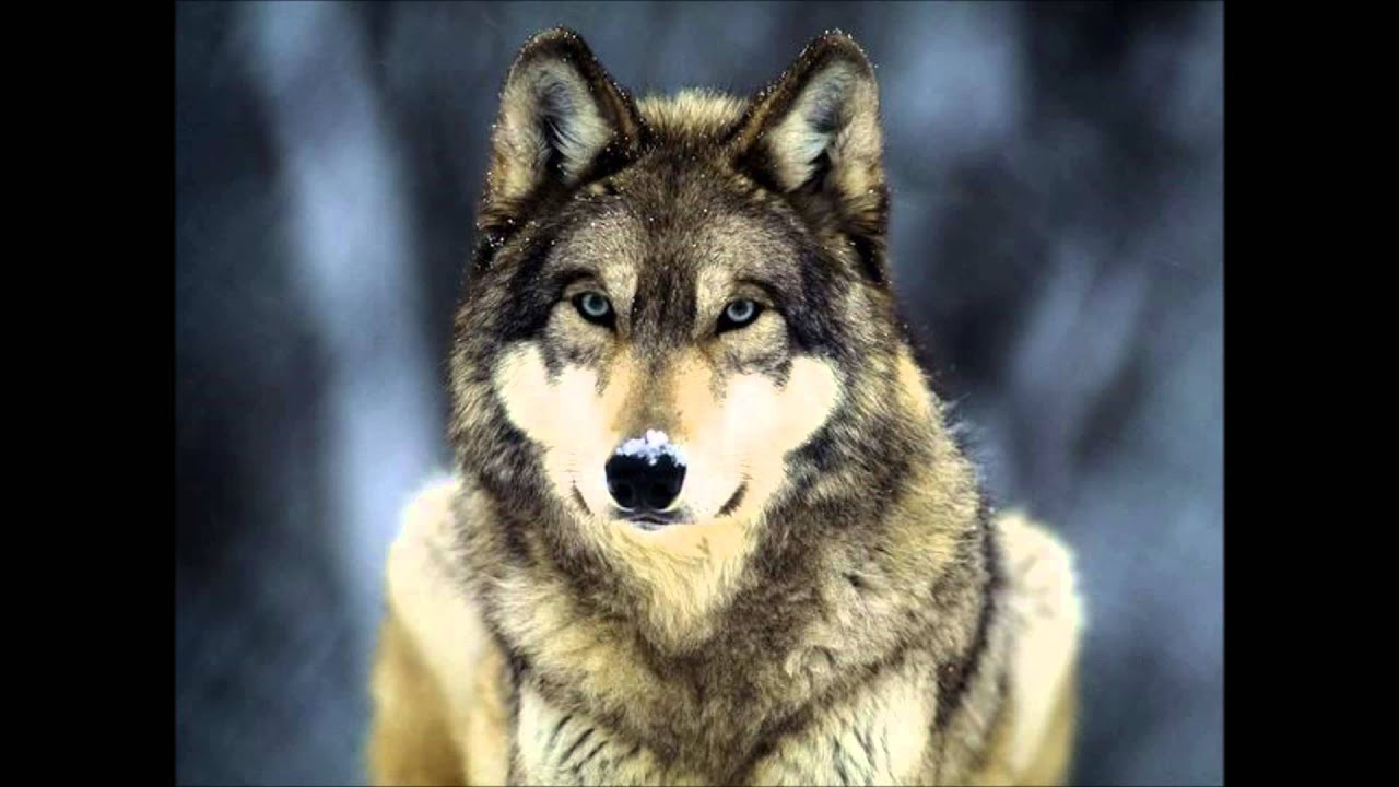 Wolves Of Yellowstone Youtube