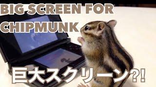 【Bikke】Chipmunk  Bikke was eating snack and watching TV/ゲームに夢中なシマリス thumbnail