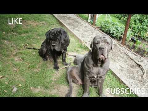 Neapolitan Mum and Big Sister Love Neo Mastiff Puppies