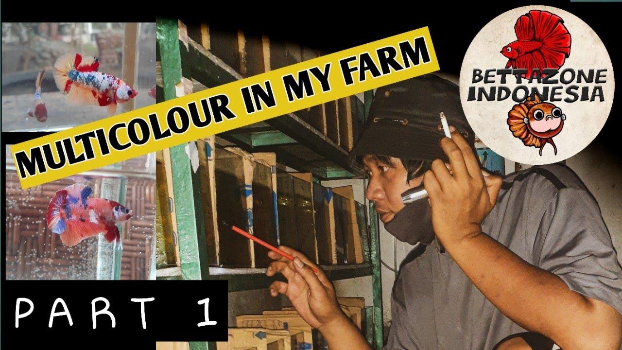 Koleksi Ikan Cupang Multicolor di Farm Bettazone Indonesia ...