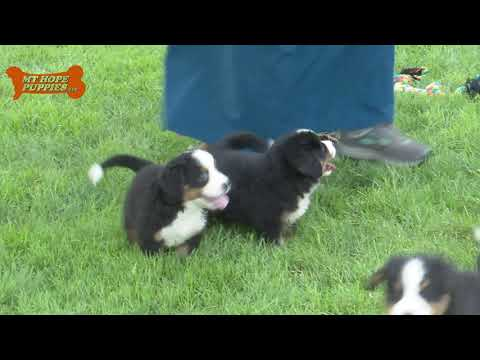 Marion & Cindy Miller's Bernese Mountain Dog  puppies for sale