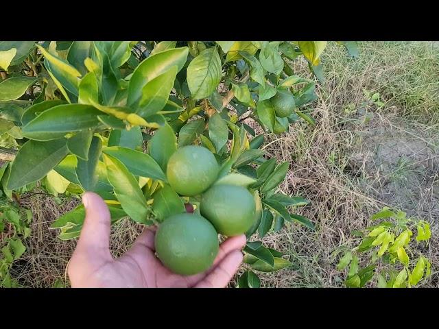 BARI Malta- 1 garden in Bangladesh,Malta bari-1 bd plant garden,?????? ???, ???? ??????-?,