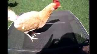 Poule naine Mange vers de terre