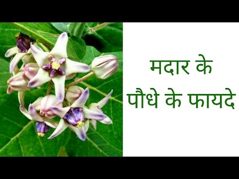 मदार के पौधे के फायदे   benefits of madar plant   madar ke poudhe ke fayade   janiye kaise  