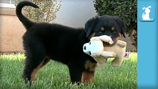 Ridiculous Rottweiler Puppies Play With Tiny Stuffed Animal - Puppy Love