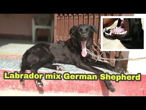 Mix-Black german Shepherd and Labrador dog