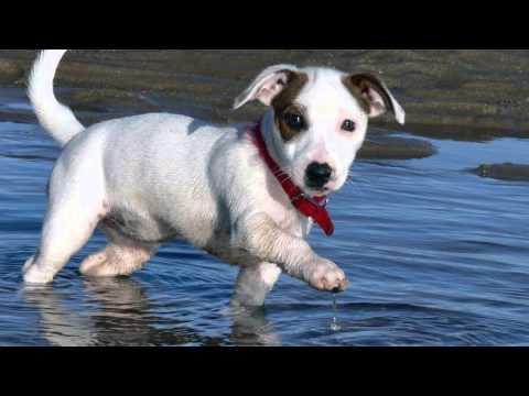 Como Criar el Perro Raza Jack Russel- Terrier - TvAgro por Juan Gonzalo Angel