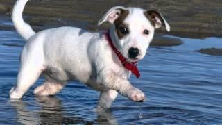 Como Criar el Perro Raza Jack Russel Terrier  TvAgro por Juan Gonzalo Angel