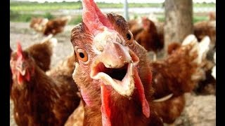 Crazy Chicken - Ringtone