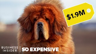 Baixar Why Pedigree Dogs Are So Expensive | So Expensive