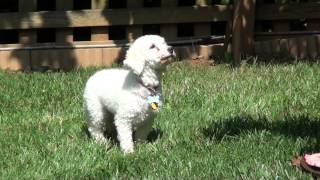 Poodle Katey Needs A  Forever Home
