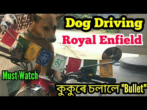 Dog Driving Royal Enfield,,কুকুৰে চলালে Bullet Bike, Must Watch