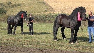Concurs cu cai de tractiune   Calarasi Gara, Cluj   Imagini de culise - 2018