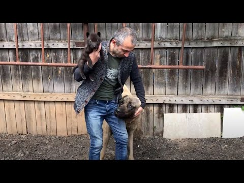 Реакция собак ( волкодавов ) на Канадского Волчонка