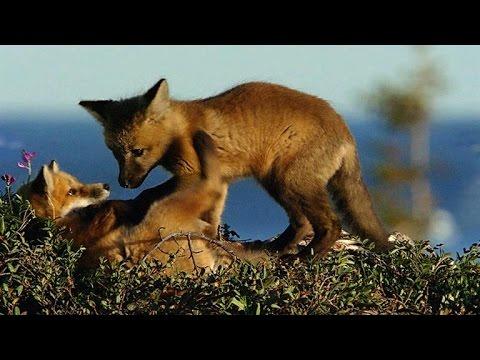Arctic Fox Pups Prey on Goslings