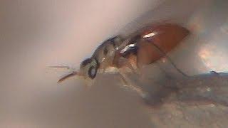セグロアシナガバチの巣に、寄生蜂が多数で卵を食べたり産卵しにきまし...
