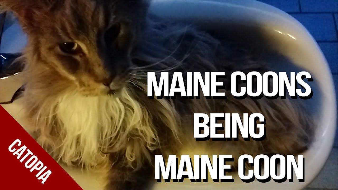 Maine Coon Cat Video - Maine Coons doing Maine Coon things