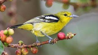 Aneka Suara Burung Cipoh Untuk Memancing Burung Cipoh Agar Mau Berbunyi