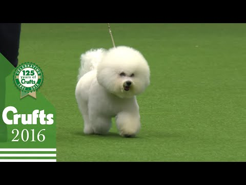 Bichon Frise - Exclusive Behind the Scenes with Best of Breed Winner | Crufts 2016