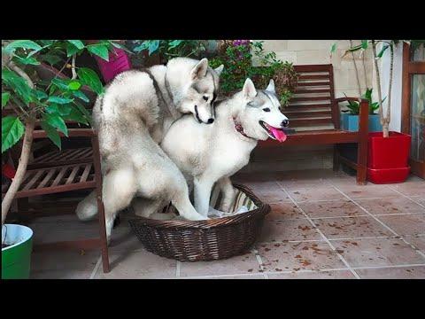 😍Неприступная невеста в корзине. Хаски. Bride in a basket. Husky.