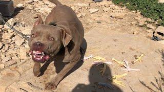 لقد اكتشفنا اكبر سر خطير جدا ب كلب البيتبول المجنون مع جمال العمواسي