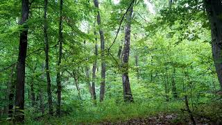 Forest Birdsong - Relaxing Nature Sounds & Birds Singing - 3 Hours Birds Chirping