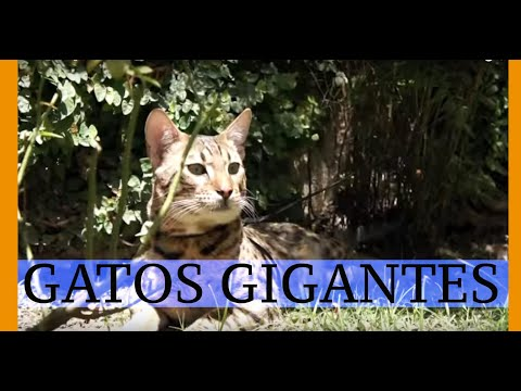 GATOS SAVANNAH