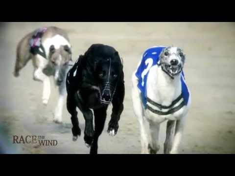 RACE THE WIND 9 - Greyhound Race Track (USA) • Sighthound Dog Galgo Windhund