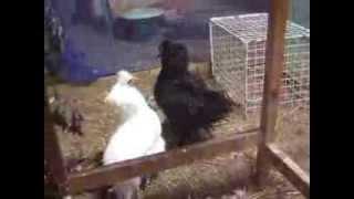 白烏骨鶏[「レモン」と黒烏骨鶏「チョビ」には約2週間違いの雛が居ます...