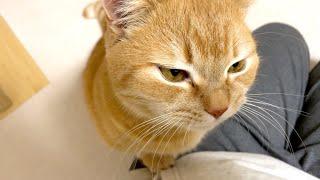寝ぼけながらお出迎えルーティンをこなす猫