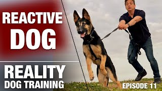 Will I Ever Be Able to Take This Reactive Dog on a Normal Walk? Reality Dog Training