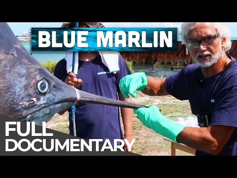 The Mighty Blue Marlin | Ocean Vet | S01 E04 | Free Documentary