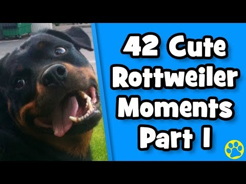 Ultimate Cute Rottweiler Compilation #1   Best Of Funny Rottweiler Videos