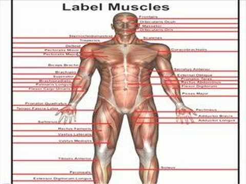 Anterior Muscles Youtube