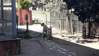 Kangal köpeğinden alan koruma.