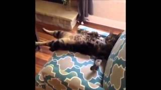 Видео   Приколы с домашними животными   Видеоролики на Sibnet