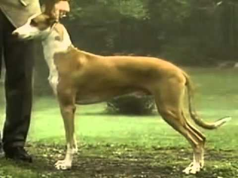 The Ibizan Hound - Dog Breed