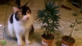 Кот ест коноплю и ему это очень очень нравиться))Смотрите конец)
