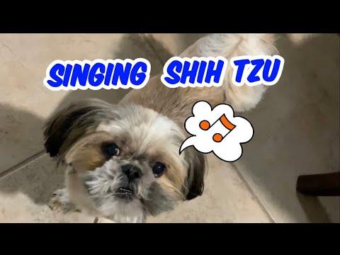 Hershey our dog singing  | Dog singing | Shih tzu dog singing