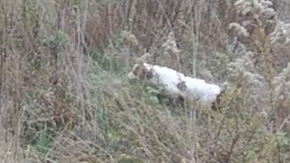 Brittany Spaniel video :  Lady hunts a field for game