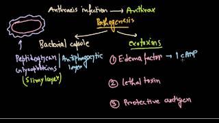 Bacillus anthracis pathogenesis