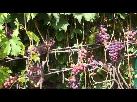 Виноград сорт Низина (август)