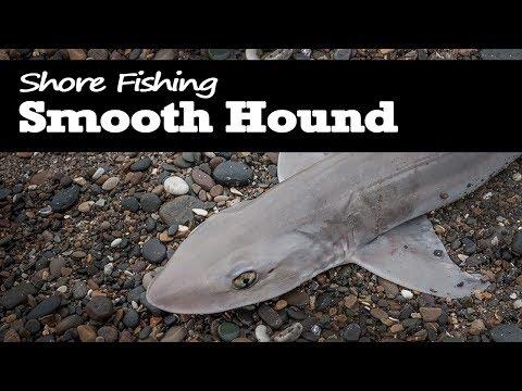 Smooth Hound - Shore Fishing.