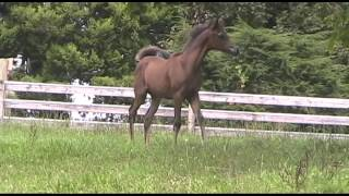 Tirzah jo 2013 bay arabian filly sired by Ajman Moniscione